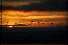 Cranes flying at sunset amonst the coulds